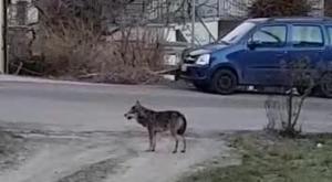 Il lupo si aggira impaurito fra le case di via Roma