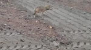 Caprie, metti un lupo che ti attraversa la strada: «Ormai sono tra di noi»