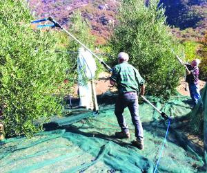 Gli ulivi vengono allo scoperto