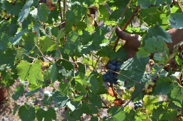 Raid in vigne alle Crotte di Chianocco, rubata tutta l'uva